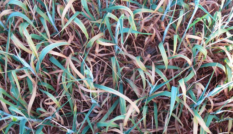 Weizen Dürrefeld