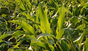 Corn (Quelle: www.pixabay.com)