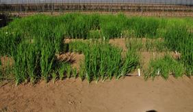 Dry rice cultivation in Japan: Different rice varieties show varying degrees of ability to uptake phosphorus as a nutrient.