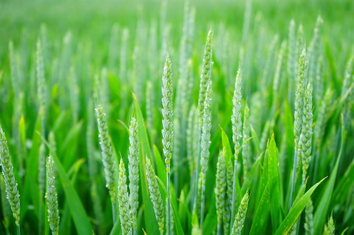 By means of self-formed organic compounds, wheat can better protect itself against the stress of heat or flooding. | Quelle: © CC0 – Creative Commons.| Image source in color and print quality:  http://www.zalf.de/de/aktuelles