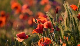 Red poppies in a corn field