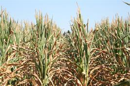 For plant breeders it is essential to know whether plants are more vulnerable to heat or drought.