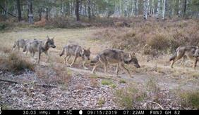 Freude, Angst oder gar Wut – der Anblick eines Wolfes in freier Wildbahn erzeugt die unterschiedlichsten Reaktionen.