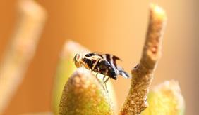 Seabuckthorn fruit fly
