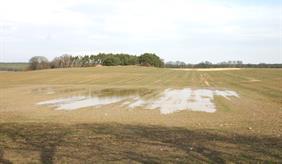 Winter wheat field after heavy rainfall